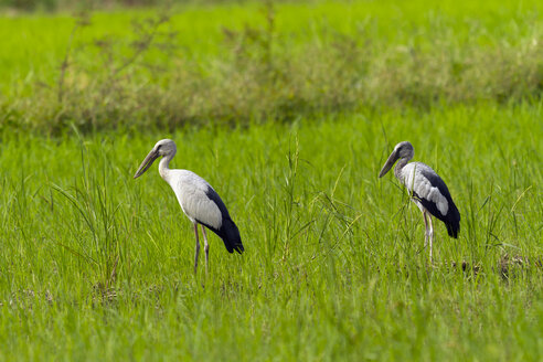 Thailand, Mae Wong National Park, Asian openbill stork and young bird, Anastomus oscitans - ZC00422