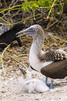 Ecuador, Galapagos Islands, San Cristobal, Blue-footed Booby with chick - CB00389