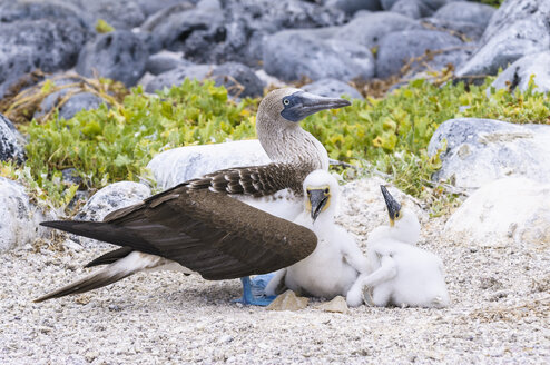 Ecuador, Galapagos Islands, San Cristobal, Blue-footed Booby with chicks - CB00392