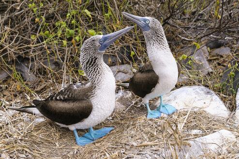 Ecuador, Galapagos Islands, Espanola, two blue-footed boobies - CB00397