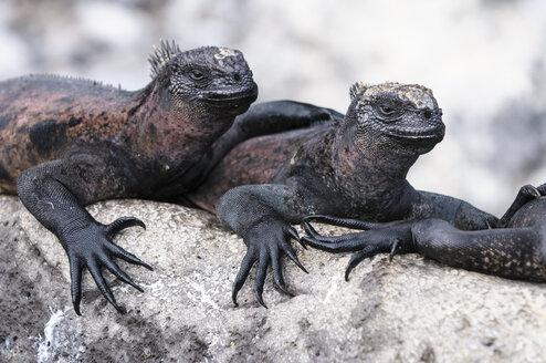 Ecuador, Galapagos Islands, Espanola, Marine Iguanas on a rock - CB00400