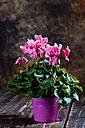 Pink cyclamen in flower pot - CSF27746