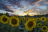Sunflower field in the evening - LOMF00432