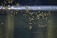 Willow branch over lake - GNF01373