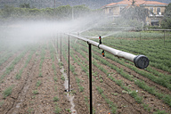Irrigation system watering dill in a vegetable garden - DEGF00916