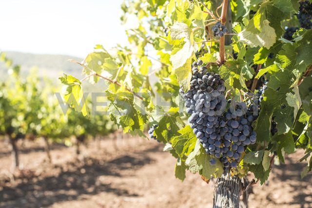 Red grapes hanging from vine - DEGF00925