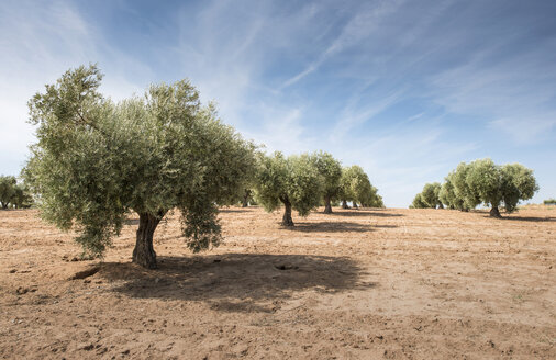 Spain, Ciudad Real, olive tree plantation - DEGF00931