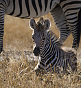 Simbabwe, Hwabge National Park, Young zebra lying in grass - MPAF00068