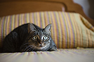 Portrait of staring cat crouching on bed at home - RAEF01526