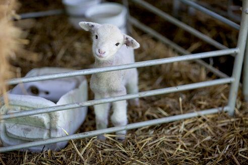 Portrait of little lamb on sheep farm - ZEF11231