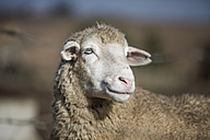 Portrait of a sheep - ZEF11234