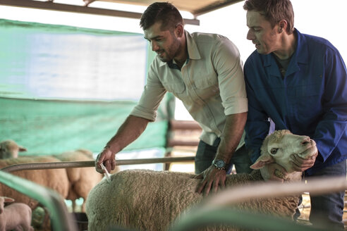 Vet giving sheep an injection - ZEF11243