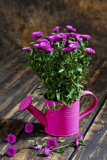 Asters in pink watering can as flower pot - CSF27804