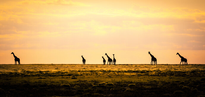 Namibia, Etosha National Park, Group of giraffes in morning light - MPAF00086
