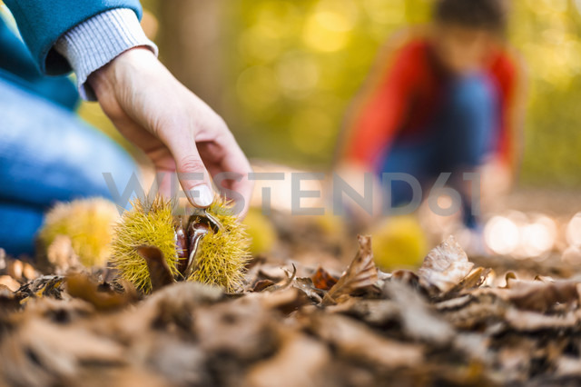 Woman's hand taking sweet chestnut from forest soil, close-up - DIGF01409 - Daniel Ingold/Westend61