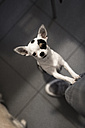 Portrait of Chihuahua standing on hind legs - MAUF00850