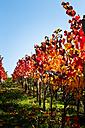 Grape vines in autumn - CSF27839