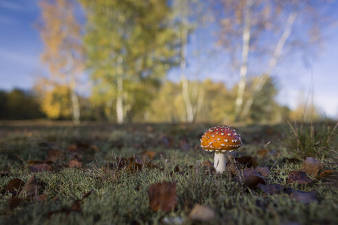 Fly agaric on a meadow - MJOF01316