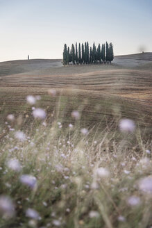 Italy, Tuscany, Val d'Orcia, group of cypresses - PAF01729