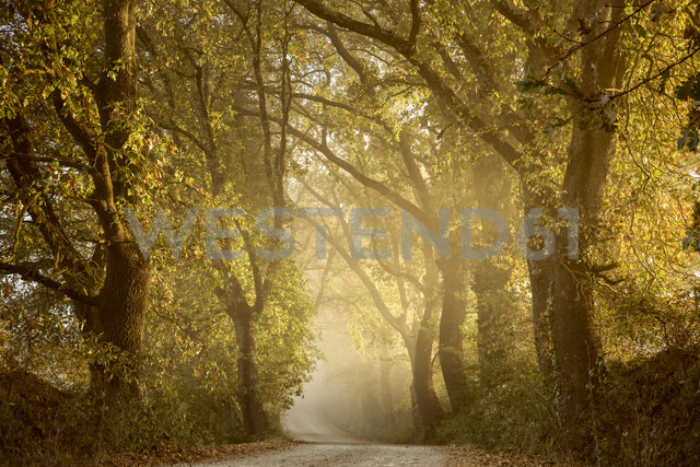 Italy, Tuscany, Val d'Orcia, tree-lined road in morning fog - FCF01141