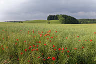 Germany, poppy field - SIEF07154