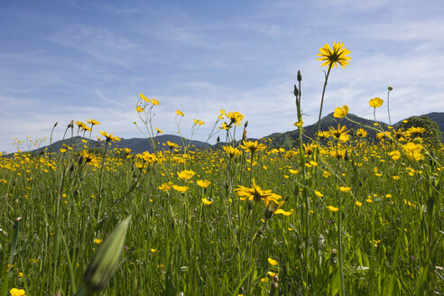 Germany, Isarwinkel, meadow with buttercups and meadow salsify in spring - SIEF07163
