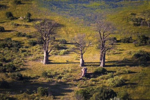 Africa, Botswana, three Baobab trees, aerial view - MPAF00101