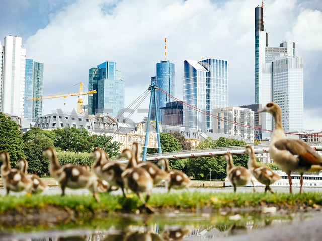 Germany, Frankfurt, view to skyline with goose family in the foreground - KRPF02040 - Kristian Peetz/Westend61