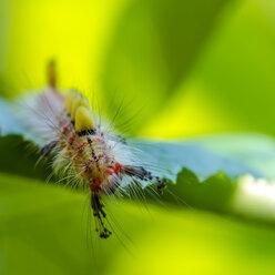 Caterpillar of Rusty Tussock Moth on leaf - MHF00398