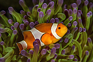 Bali, Ocellaris Clownfish in sea anemone - YRF00135