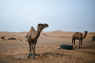 Morocco, Merzouga, camels at their resting place in the Erg Chebbi desert - KIJF00993