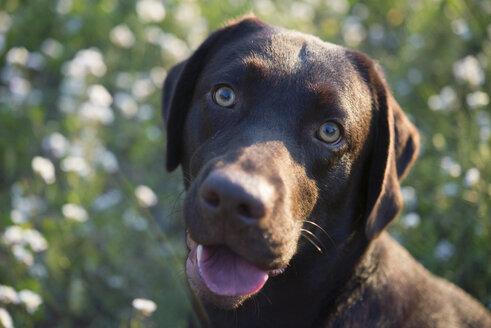 Portrait of Labrador Retriever - SKCF00227