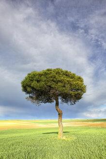 Spain, Province of Zamora, single Scots pine in the Natural Reserve of Lagunas de Villafafila - DSGF01194