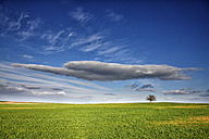Spain, Province of Zamora, single tree in the middle of a crop field - DSGF01206