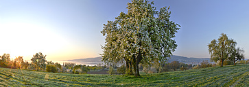 Germany, Baden-Wuerttemberg, Lake Constance, meadow with trees and Untersee - SHF01908