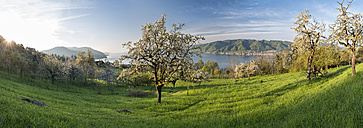 Germany, Bodman, Lake Constance, meadow with blossoming trees in morning light - SHF01926