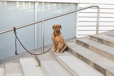 Bordeaux Mastiff sitting on stairs - JUNF00755
