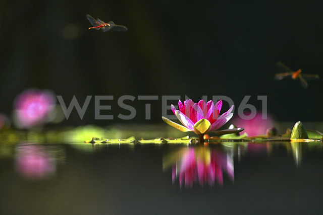 Water lily and dragonflies - DSGF01292
