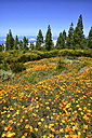 Spain, Tenerife, flowers in bloom near El Teide - DSGF01340