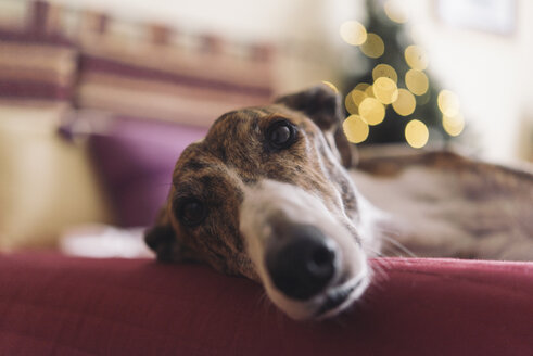 Portrait of Greyhound lying on couch at Christmas time - SKCF00233