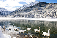 Austria, Kleinarl, group of mute swans on Jaegersee in winter - HHF05478