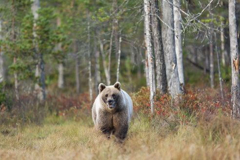 Finland, Kainuu, brown bear - ZC00449