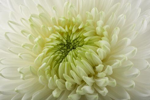 Chrysanthemum, close-up - MJOF01324