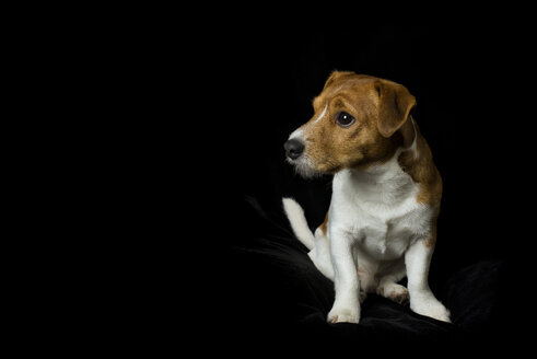Jack Russel Terrier sitting in front of black background - MJOF01328