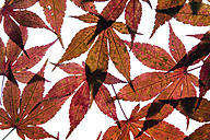 Autumn leaves of Japanese Maple on white ground - TCF05257