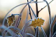 Twigs and frost-covered oak leaves - FRF00489