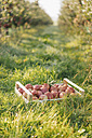 Crate with apples in orchard - KNSF00726