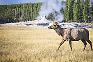 USA, Wyoming, Yellowstone Nationalpark, female wapiti on a meadow - EPF00209