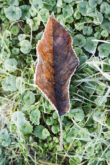 Frost-covered autumn leaf on a meadow - MYF01863