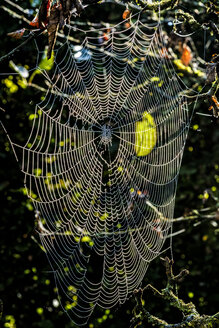 Spider web in the morning light - HAMF00251